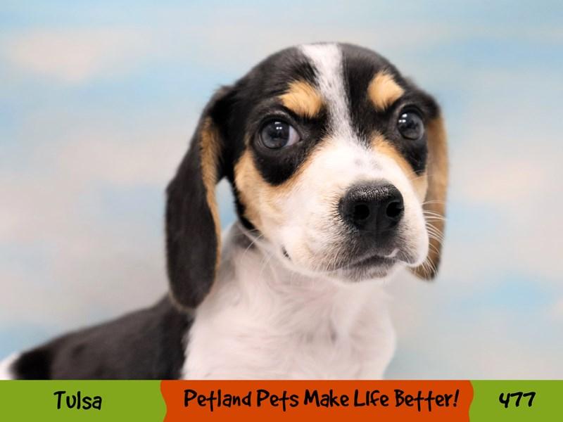 Beagle-Male-Black White and Tan-3304641-Petland Oklahoma City & Tulsa