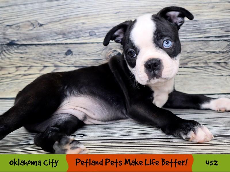 Boston Terrier-Male-Black and White-3304567-Petland Oklahoma City & Tulsa