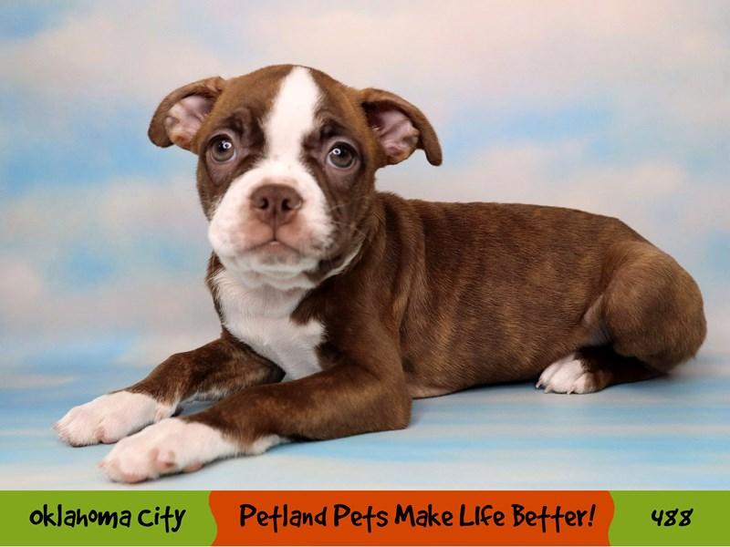 Boston Terrier-Female-Seal Brindle and White-3313936-Petland Oklahoma City & Tulsa