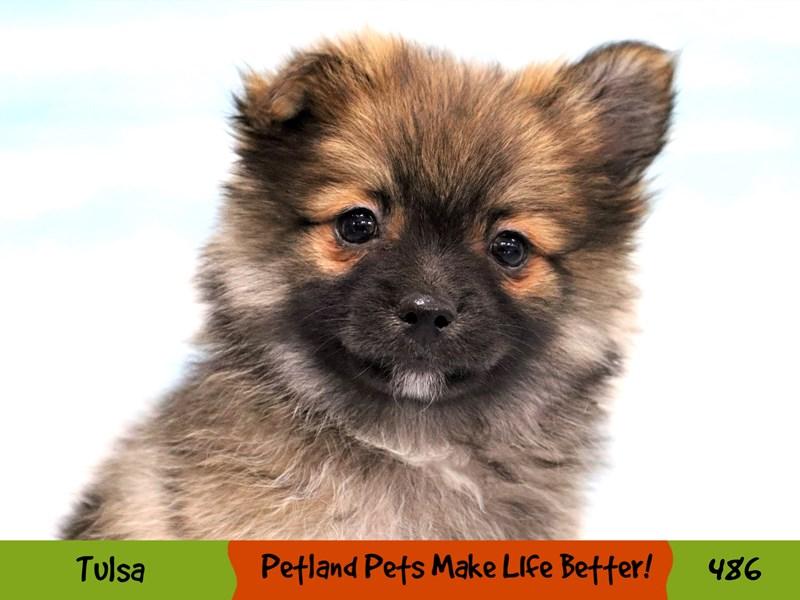 Pomeranian-Female-Red Sable-3313339-Petland Oklahoma City & Tulsa